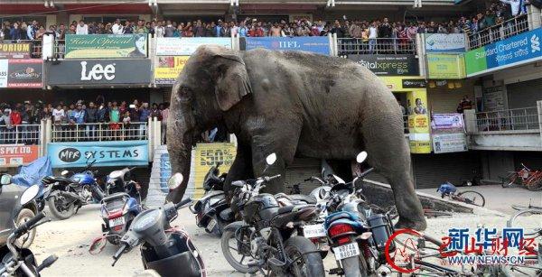 印度,野象,街头,暴走,破坏,街道,冲散,人群